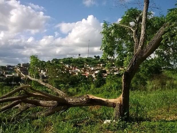 Cajazeiro está no local há mais de cem anos (Foto: Gésika Rodrigues / Tv Asa Branca)