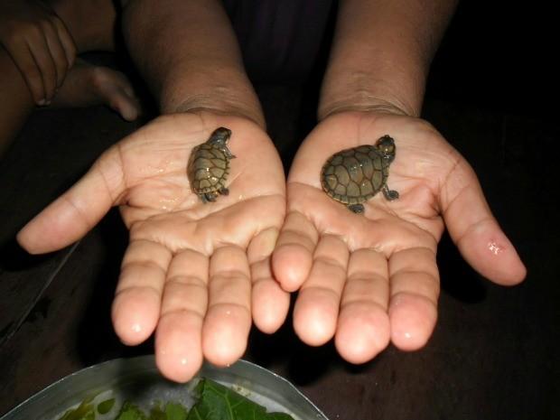 Tracajás foram separados uma semana depois após o nascimento, no Amazonas (Foto: Divulgação/UEA - Anne Brandão )