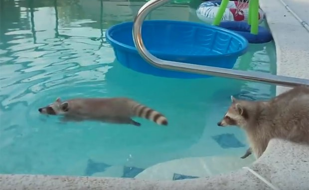 'Guaxinim nadador' virou hit ao entrar em piscina nos EUA (Foto: Reprodução/YouTube/Vicki Coppen)
