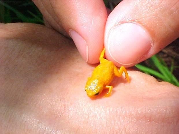 Sapo tem um pouco mais de 1 centímetro de comprimento (Foto: Luiz Fernando Ribeiro/Fundação Grupo Boticário)
