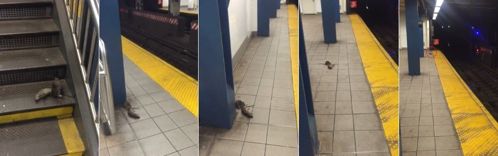 O rato levou o companheiro morto até 'sumir nas trevas'