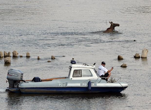 Policiais usaram até um barco para capturar um alce que entrou no rio Vístula (Foto: Janek Skarzynski/AFP)