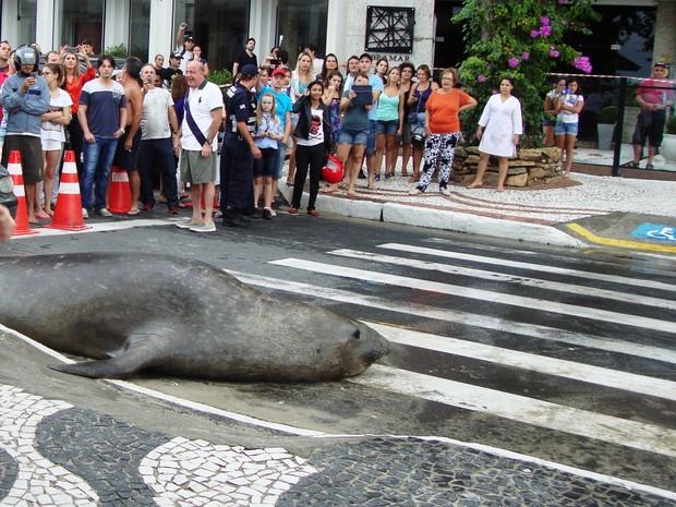 Leão-marinho atravessou a faixa de pedestres em Balneário Camboriú (Foto: Guarda Municipal Balneário Camboriú/Divulgação)