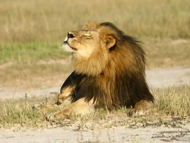 O leão Cecil era uma das maiores atrações de parque nacional no Zimbábue (Foto: REUTERS/A.J. Loveridge/Handout via Reuters)
