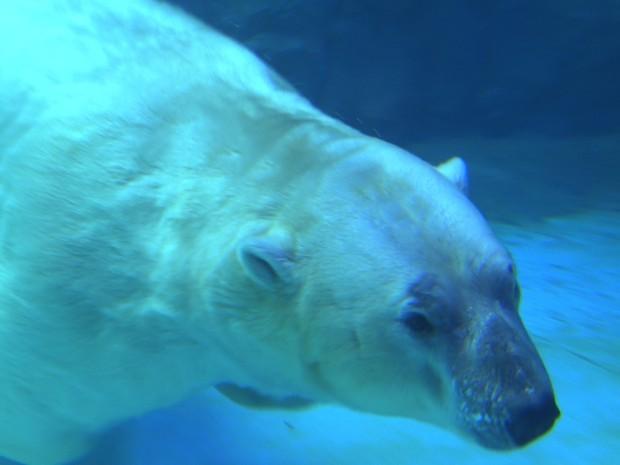 Programa Terra da Gente mostra urso polar em aquário de São Paulo (Foto: José Ferreira Filho/ TG)