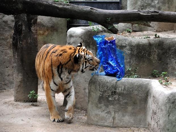 Tigre ganhou frangão de Natal, mas não deu muita atenção para o presente (Foto: Alexandre Durão / G1)
