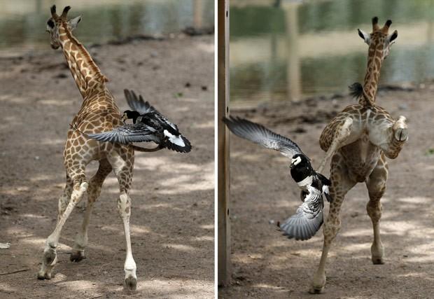 Girafa deu coice ao ser atacada por ganso em zoo belga (Foto: François Lenoir/Reuters)