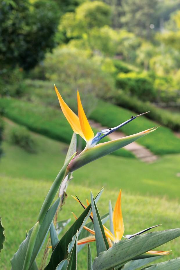 Estrelítzia | Ornamentais e resistentes, as flores em tons de amarelo e azul são ótimas para criar arranjos (Foto: Gui Morelli)