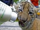 Com mãe doente, tigrinhas alemãs são criadas à base de leite de cabra