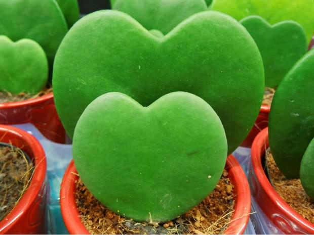 Hoya-Kerrii-suculenta-coração (Foto: Reprodução/Pinterest)