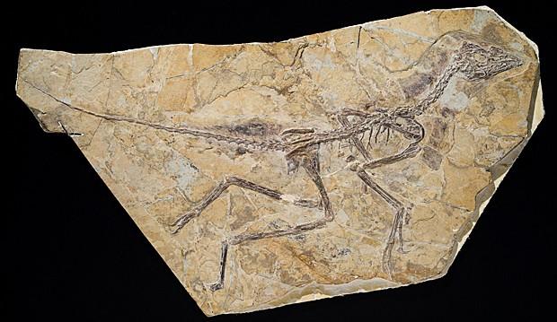 Esqueleto da espécie 'Aurornis xui', que viveu no período Jurássico na China (Foto: Thierry Hubin/IRSNB)