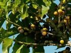 Produtores de MG adiantam colheita para garantir a qualidade do café