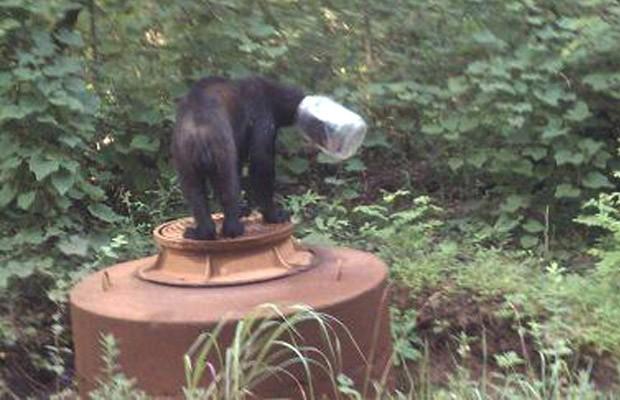 Em 2011, um urso foi resgatado após ser encontrado com um jarro entalado na cabeça no condado de Cocke, no estado americano do Tennessee (Foto: AP)
