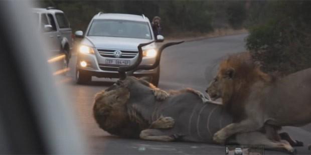 Dois leões chocaram turistas ao matarem um cudu em estrada de parque (Foto: Reprodução/YouTube/Kruger National Park)