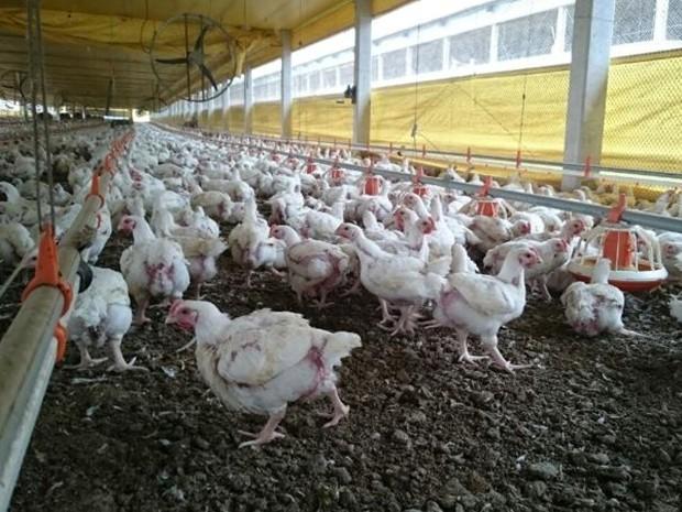 Custo da carne vermelha elevou produção de frangos em Boituva (Foto: Jason Mathias/TV TEM)