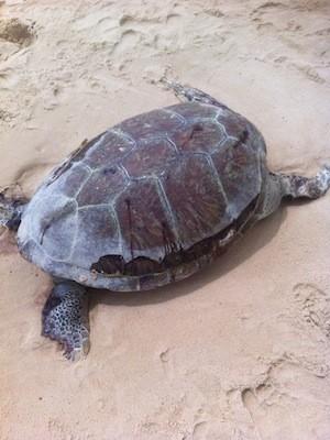 Carcaça do animal foi encontrada na praia de de Pitangui, no litoral Norte do RN (Foto: Inúbia Medeiros)