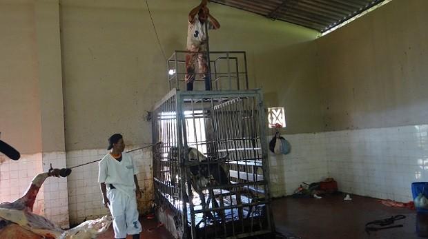 Bois são abatidos com golpe de lança e sofrem até a morte.  (Foto: Natália Souza/G1 AL)