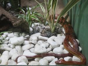 Korn Snake tem cores atrativas (Foto: Krystine Carneiro/G1)