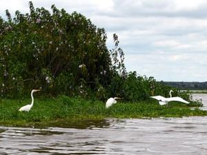 Garças no Rio Piracicaba na região do Tanquan (Foto: Fernanda Zanetti/G1)