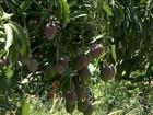 Agricultores fazem a colheita da uva e da manga no Vale do São Francisco