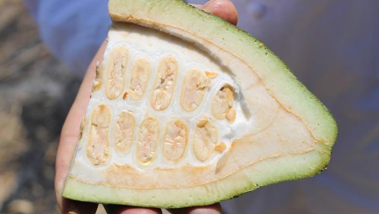 cacau-branco-peru (Foto: Reprodução/Cacaosuyo)