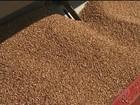 Agricultores do Paraná iniciam o plantio do trigo com otimismo