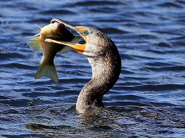 Em dezembro de 2012, uma biguatinga foi vista tentando devorar um peixe enorme no em Daytona Beach, no estado da Flórida (EUA) (Foto: Sam Greenwood/Getty Images/AFP)