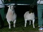 Concurso no interior de São Paulo escolhe as melhores ovelhas jovens