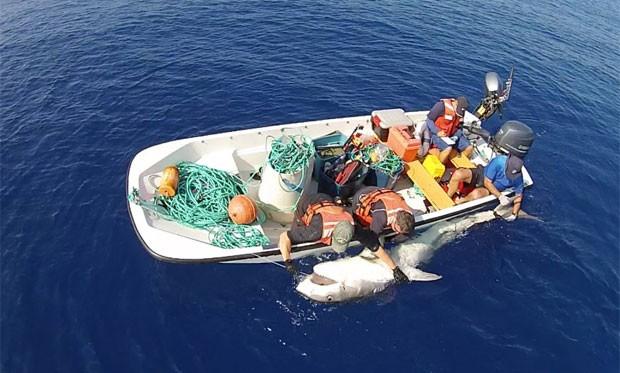 Pesquisadores colocam marcação em tubarão-tigre de 4 metros (Foto: Reprodução/Facebook/Jeff Corwin)