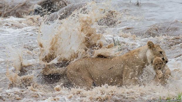 Kyriakos Kaziras registrou a luta de uma leoa para atravessar um rio no Parque Nacional Masai Mara (Foto:  Kyriakos Kaziras)