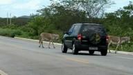 Polícia Rodoviária alerta motoristas que tenham atenção com animais na pista ao viajar