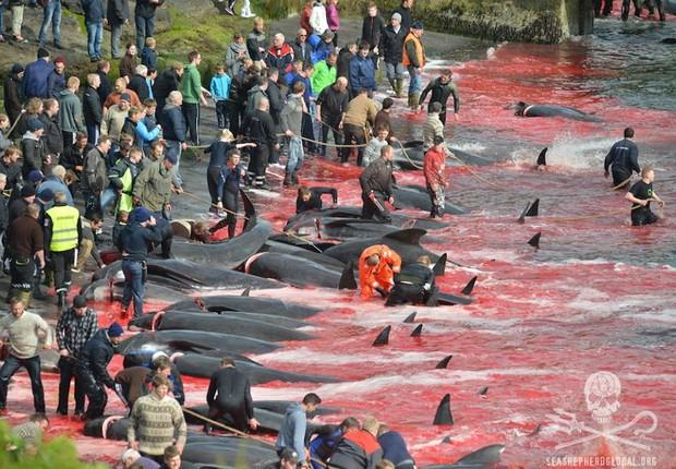Pescadores empurram as baleias para a praia, onde são mortas com golpes de faca e arpões pelos moradores das ilhas Faroe, arquipélago pertencente à Dinamarca. O ritual acontece todos os anos (Foto: Reprodução/Sea Shepherd Global Facebook)