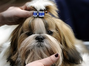 Cão da raça shih tzu mordeu a mulher, e outros 3 lamberam (Foto: Alexander Körner/DPA/AFP)