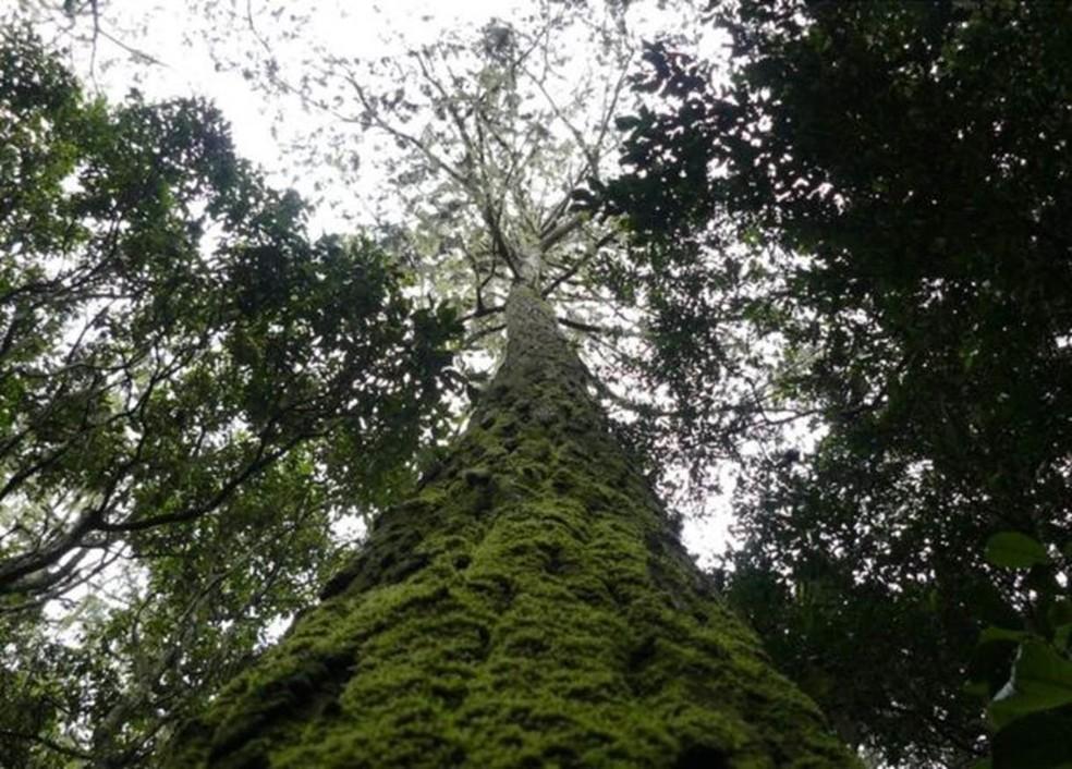 Pesquisa mostrou que mais da metade das espécies de árvores são encontradas em um único país (Foto: BGCI )