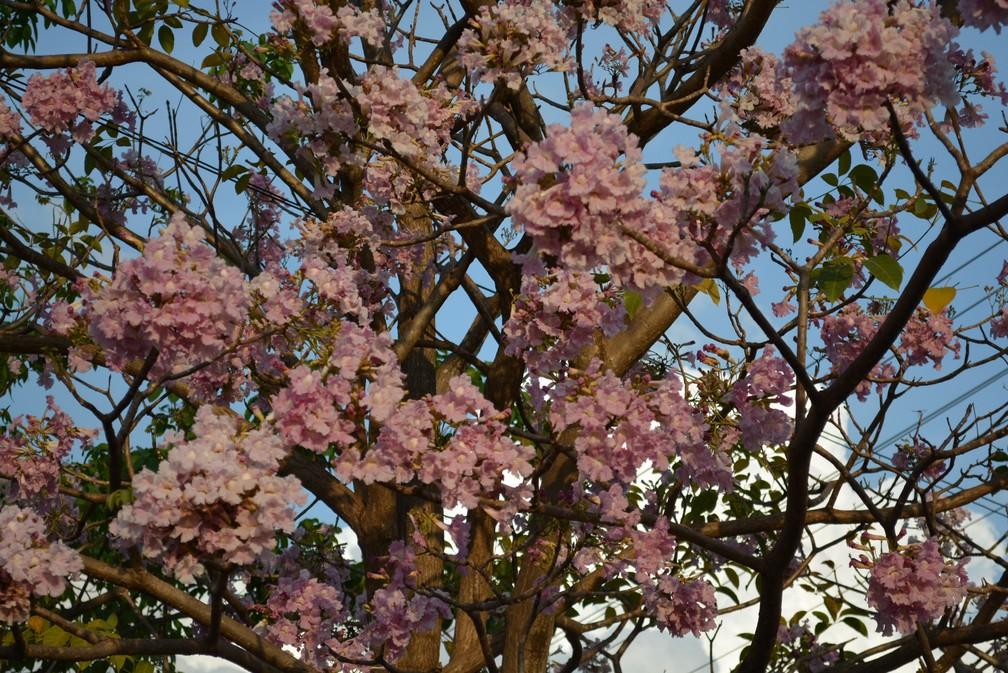 Porto Velho foi um dos primeiros a receber a florada do ipê (Foto: Jhenifer Moura/Arquivo Pessoal)
