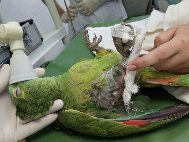Papagaio Neném de Uberlândia (Foto: Daniel Peixoto/Arquivo Pessoal)