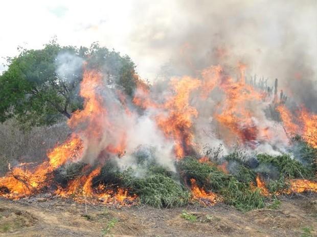 188 mil pés de maconha foram erradicados (Foto: Divulgação / Polícia Federal)