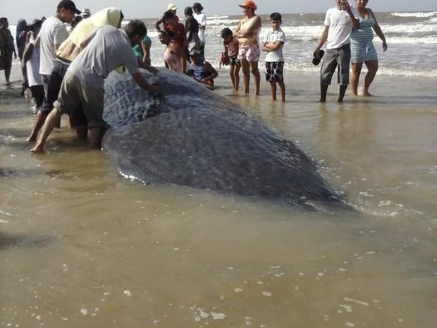 Apesar de hidratada, baleia não resistiu (Foto: Iris Santos / Rádio Tropical de Marudá)