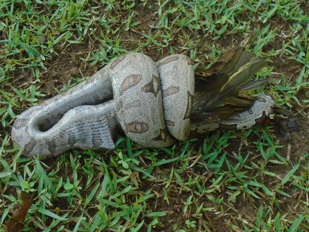 Cobra foi flagrada devorando um pássaro próximo da trilha principal. (Foto: Antônio de Pádua Faria/Arquivo Pessoal)