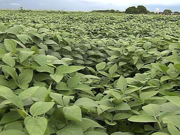 Embrapa apresenta 4 novas variações da soja para região do cerrado, em Goiás (Foto: Reprodução/TV Anhanguera)