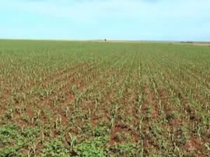 Cultivo de milho safrinha em Mato Grosso do Sul  (Foto: Reprodução/TV Morena)