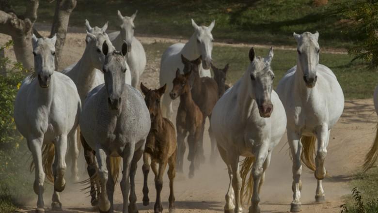 cavalo-mangalarga-marchador-equinos (Foto: Rogério Albuquerque/Ed. Globo)