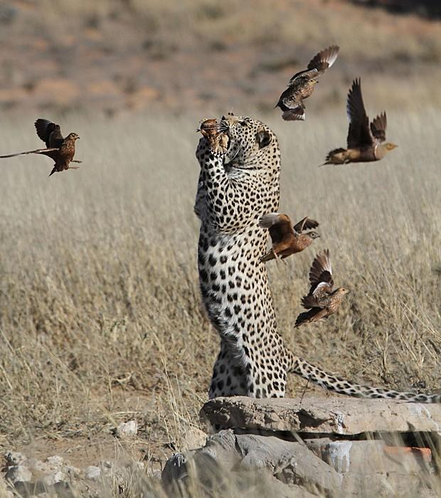 Leopardo salta para capturar ave em parque africano. (Foto: Caters)