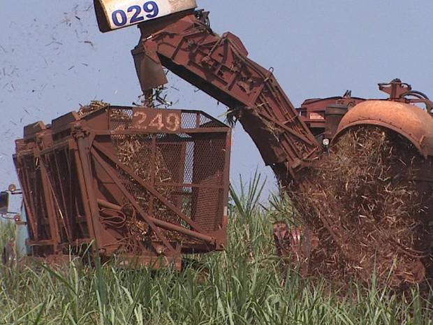 Chuva beneficiou lavoura de cana-de-açúcar e colheita se estende até dezembro (Foto: Reprodução/EPTV)