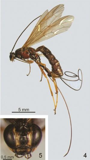 Fêmea da espécie 'Dolichomitus moacyri'; no detalhe, imagem da cabeça da vespa (Foto: Reprodução/Zookeys/UFSCar)