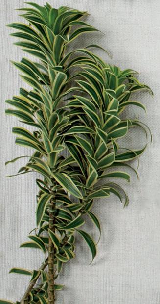 De origem tropical, apresenta folhas verdes um pouco onduladas e com margem amarelada, dispostas em espiral ao longo dos ramos. Para que o arranjo dure mais, retire as folhas secas ou machucadas (Foto: Marco Antonio/Casa e Jardim)