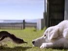 Os cães que protegem pinguins do aniquilamento em ilha na Austrália