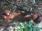 Laudo descarta febre amarela em macaco achado morto em Itapetininga