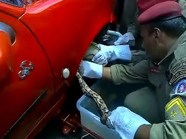 Cobra é retirada de veículo (Foto: Marcus Augusto/ Site Voz da Bahia )
