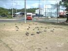 Pombos podem transmitir várias doenças; saiba como evitar